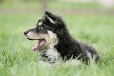 芝生の中で横を向いた子犬