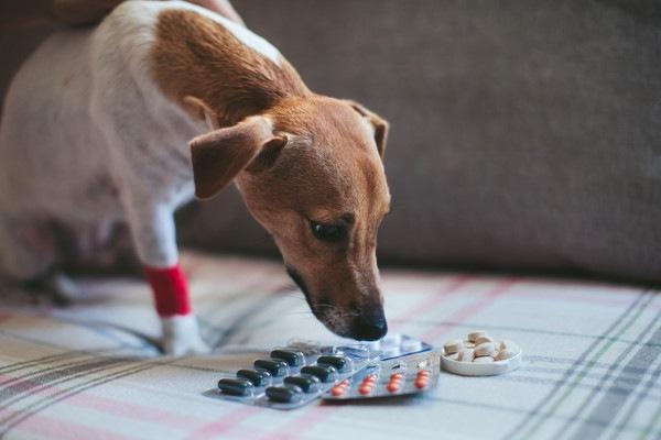 115627904 ベッドの上で薬を見る犬