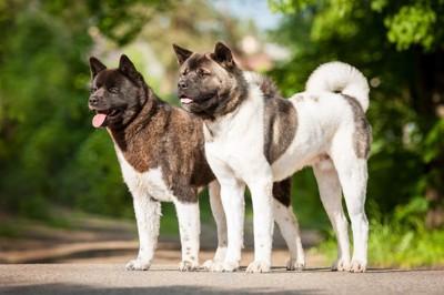2頭の秋田犬