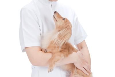 獣医師に抱きかかえられるダックス