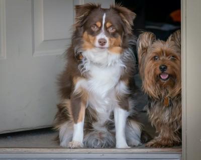 ドアの前に並んで座ってお出迎えする2匹の犬