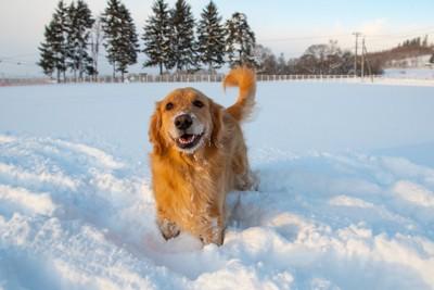 雪の中に立つゴールデンレトリバー