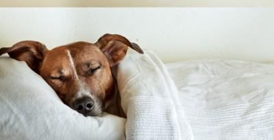布団で眠る犬