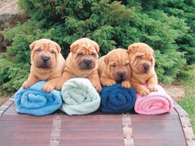 タオルの上に座る4匹のシャーペイ