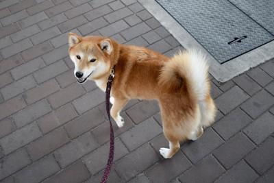 片手を上げたお散歩中の柴犬