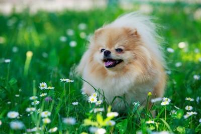 白い花と草の中のポメラニアン