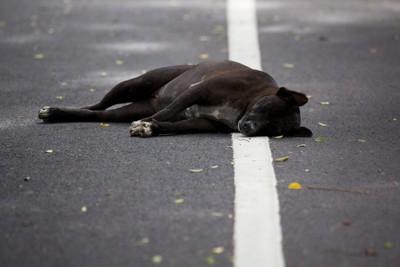 道路の白線の上に横たわる黒い犬