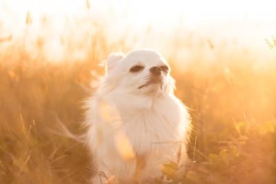 光の中で風を感じる白いチワワ