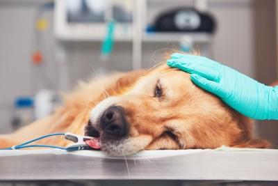 診察台に横たわって頭を撫でられている犬