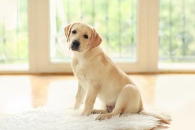 フローリングに敷かれたマットの上でくつろぐ子犬