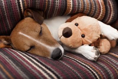 犬のヌイグルミを抱えて眠る犬