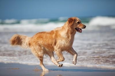 泳ぎが得意な犬のゴールデン・レトリーバー
