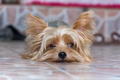 いじけている雰囲気を醸し出しながら床に伏せている犬