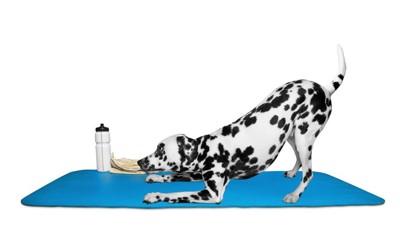 ヨガをしているような伸びをしている犬