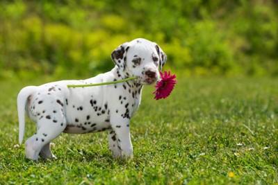ピンクの花をくわえているダルメシアンの子犬