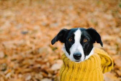 ニットを着た白黒の垂れ耳の犬