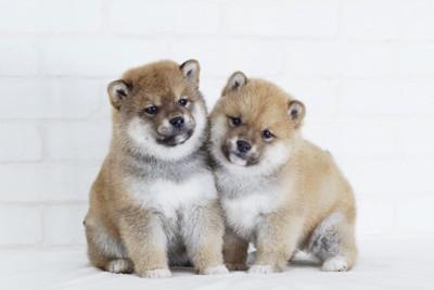 寄り添う二頭の柴犬の子犬