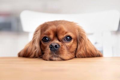 テーブルにあご乗せする犬