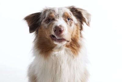 こちらを見つめて唸る犬