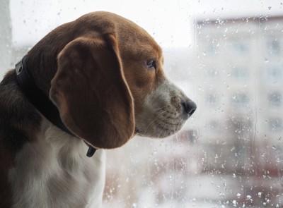 濡れた窓の外を眺めている犬