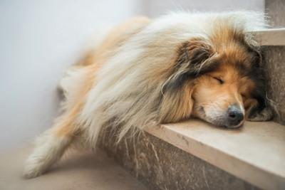 階段で寝るコリー