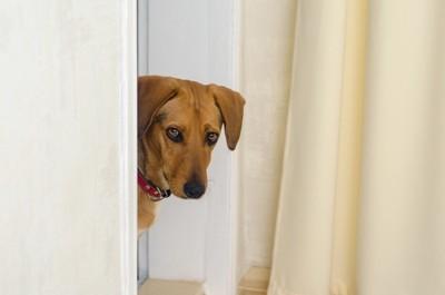 物陰から見つめる犬