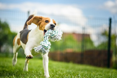 ロープをくわえながら楽しそうに走るビーグル
