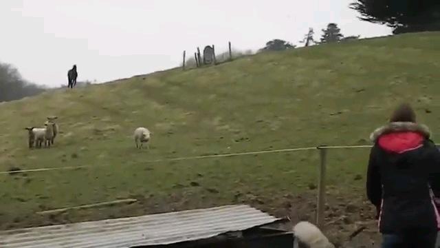 遠くから羊