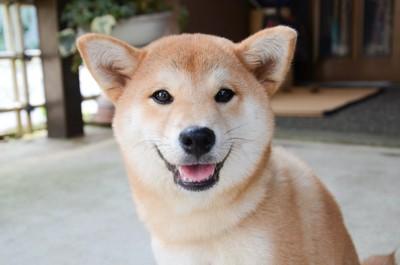 笑顔でこちらを見つめる柴犬