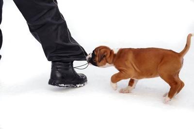 飼い主のズボンの裾を噛んで引っ張る子犬