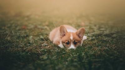 伏せをして潜むコーギーの子犬