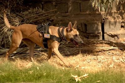 出動中の警察犬