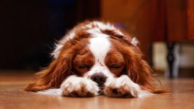 床で寝そべるキャバリア