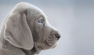 子男犬の横顔