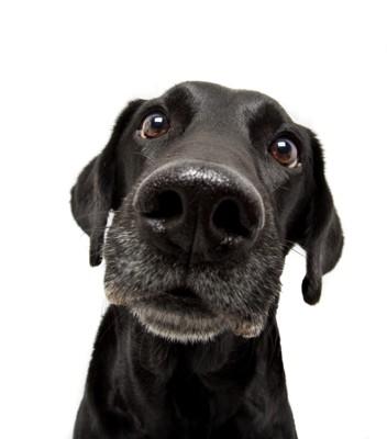 首を傾げる黒い犬