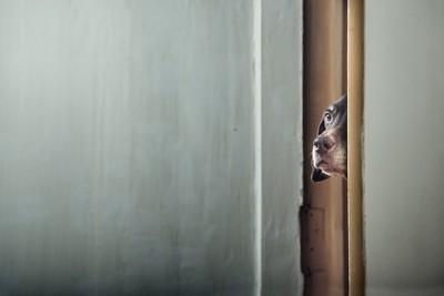 ドアの隙間からこっちを見る茶色い犬