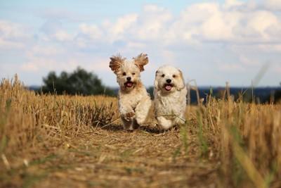 犬2匹が走ってくる