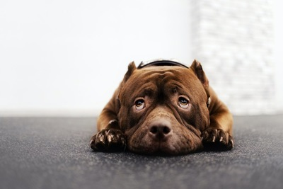 伏せをして怖がっている犬