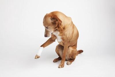 足を痛がる犬