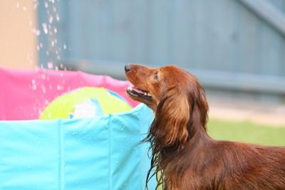 プールで水遊びをするダックス