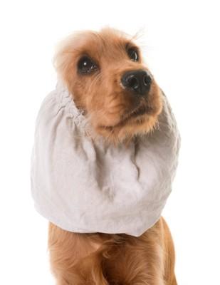 スヌードで耳を隠した犬