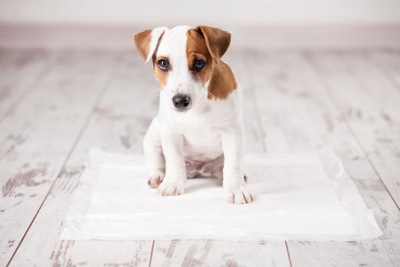 ペットシーツの上にすわる犬