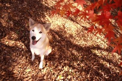 紅葉を見る犬