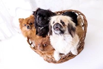 かごに入った4頭の小型犬