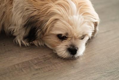 床に伏せている犬