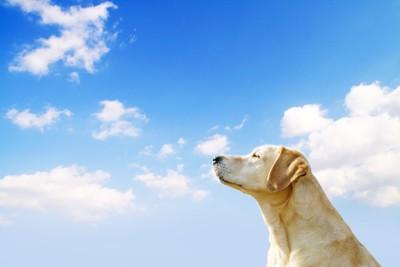 空を見上げるレトリバー犬