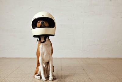 ヘルメットを被ってこちらを見ている犬