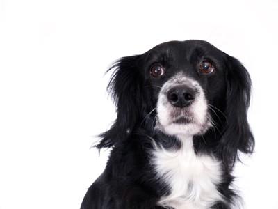 緊張した表情の白黒の犬