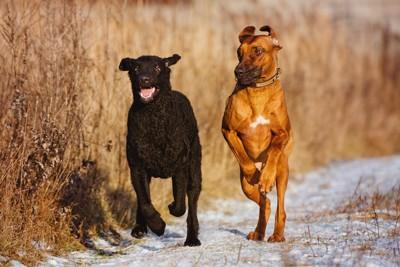 雪道を走る二頭の犬