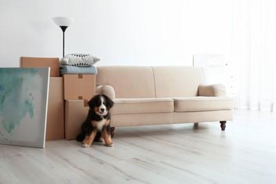 引っ越し中の家具とバーニーズ